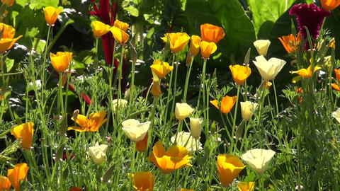 Flowering California poppy Footage