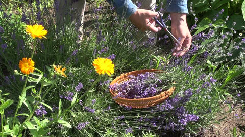 Gardener cutting lavender blossoms Footage