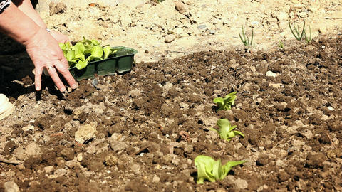 Female hand Planting the seedling at garden Footage