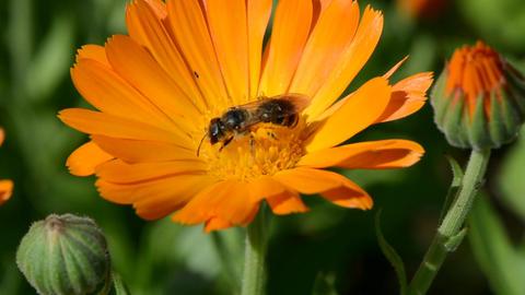 Wild bee picking pollen Footage