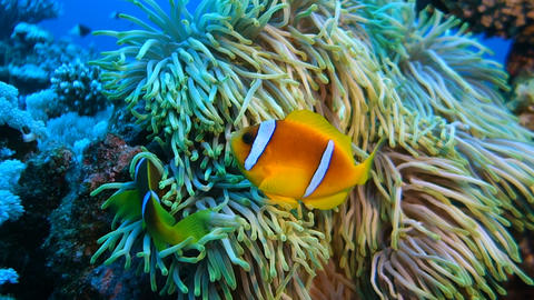 Clownfish living in their sea anemone Footage