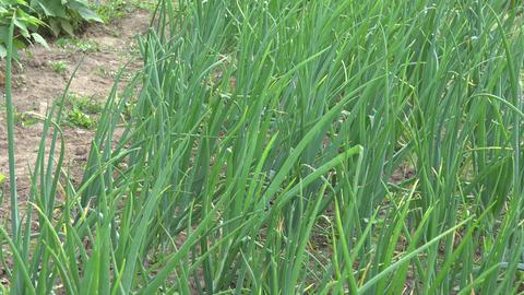 Onions growing in vegetable garden, 4K Footage