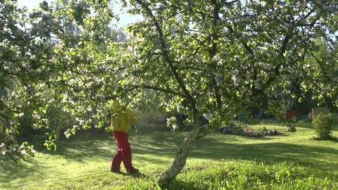 Gardener spraying flowering apple tree Footage