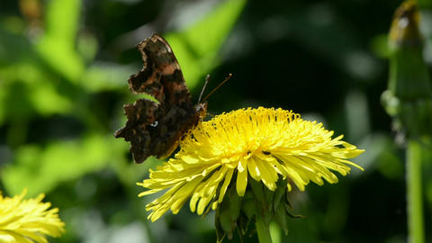 Butterfly picking pollen on dandelion Footage