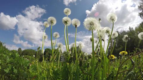 Dandelion seed heads, time lapse 4K Footage