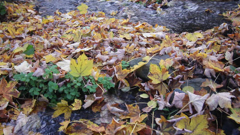 Autumn leaves in the stream Live Action