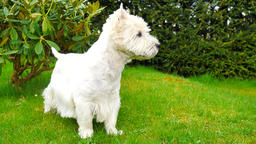 West Highland White Terrier sitting on the fresh green grass in the garden. The  Filmmaterial