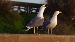 Seagulls on a wall Footage
