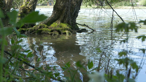 Tree Roots in Lake Footage