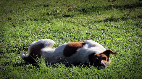 Cute Dog In The Grass Footage