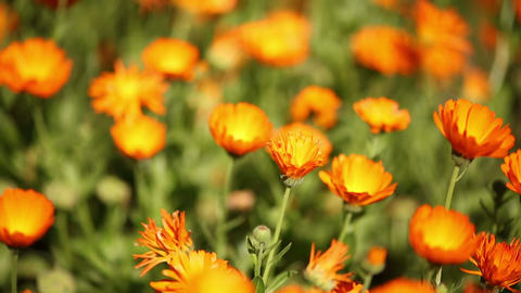 Macro Focusing Calendula Suffruticosa Flowers Footage