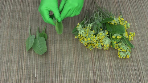 Herbalist separating Primula veris leaves from flowers Footage