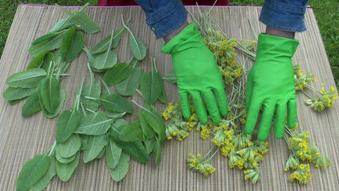Herbalist preparing to dry Primula veris Footage