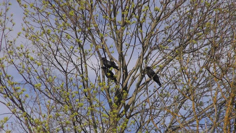 Three young common ravens in the tree in the forest clearing Footage