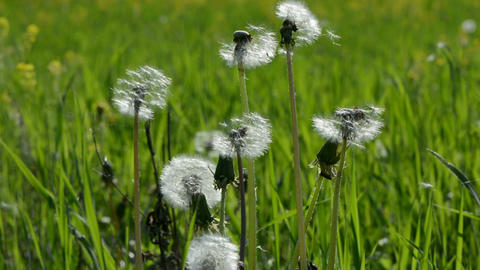 Dandelion seed heads in meadow Footage