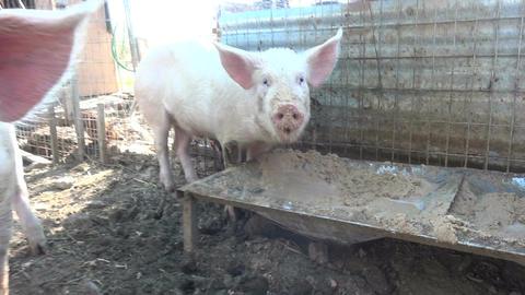Pigs Filmmaterial
