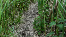 pathway through tall grass (bushes) Footage