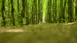 symmetric forest (trees) - shot from the ground Footage