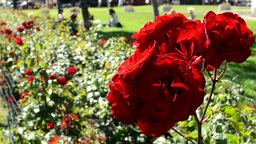 garden with red roses - people sit on the grass in background Footage
