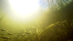 Small river fishes swimming between weed in fresh clean water under summer sun.  Footage