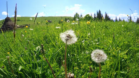 Summer meadow with dandelion seeds blown in the wind under blue sky Footage