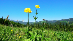 Amazing sunny day in mountains. Summer meadow with wildflowers under blue sky Live Action
