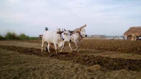 Burmese farmer plowing field using asian buffaloes near U Bein bridge Footage