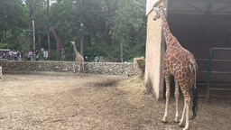 Couple of giraffes at the zoo Footage