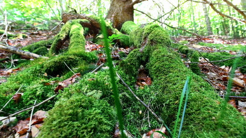 Mossy roots of giant tree growing in deep evergreen highland forest Footage