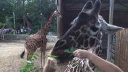 Kids feeding giraffe in the zoo Footage