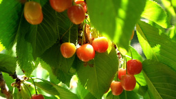 Cherry Tree Branches With Rape Fruits In Summer Garden stock footage