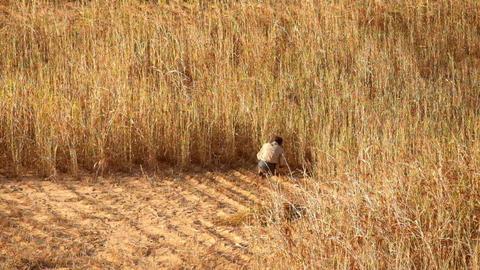 Burmese farmer works at rice field. Rural landscape of Bagan. Myanmar (Burma) Footage