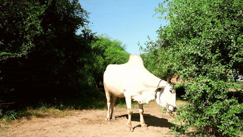 Rural asian landscape with white asian buffalo. Myanmar (Burma) Live Action