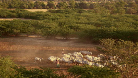Burmese herders leads cattle herd through sunset landscape of Bagan. Myanmar Footage