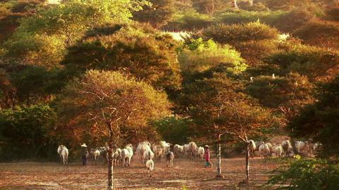 Burmese herders leads cattle herd through sunset landscape of Bagan. Myanmar Footage