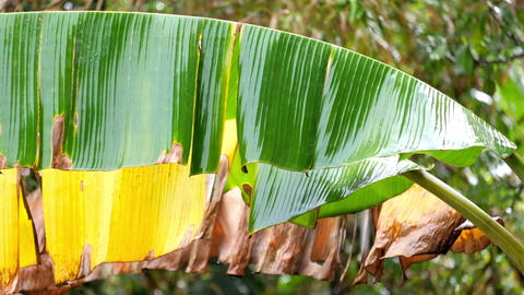 Rainy season in tropical forest. Banana leaves wet from monsoon rain Footage