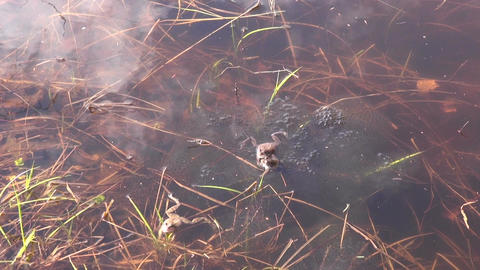 Two spawning Marsch frogs in a pond Footage