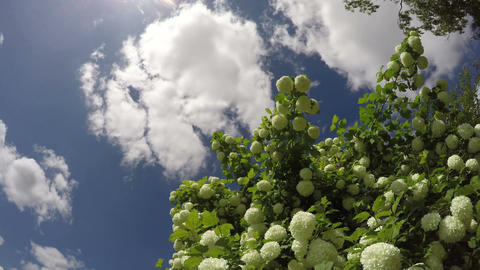 Cloudscape with flowering guelder rose, time lapse 4K Footage