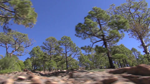 Pine tree forest in Teide, Tenerife Footage