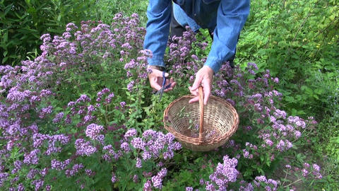 Man picking flowering oregano Live Action
