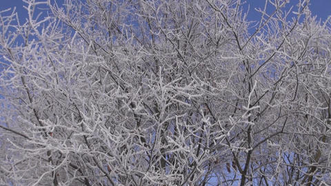 Hoarfrost covered branches Footage