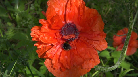 Bumblebee on a poppy Footage