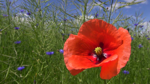 Red field poppy flowering by the rapeseed field with cornflowers Footage