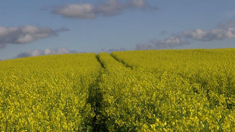 Yellow flowering rapeseed field with cloudscape Footage