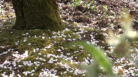 Apple tree petals on the ground Footage