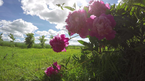 Pink peony flowering in the field, time lapse 4K Footage