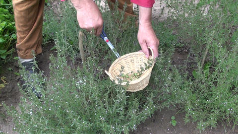 Gardener collecting savory Satureja hortensis in the garden Live Action
