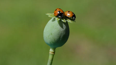 Two ladybugs perching on poppy seed head Footage
