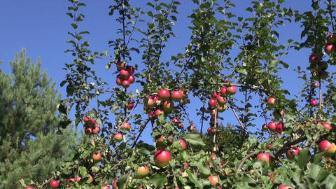 Ripe apples on apple tree Footage