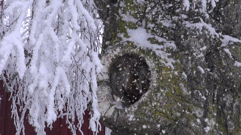 Old birch stump with a hole and snowfall Footage